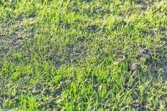 Régénéré d'herbe à garde photo libre de droits