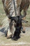 Régal de Wildebeest Images libres de droits