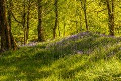 Région boisée des jacinthes des bois Photographie stock