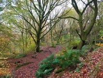Région boisée en retard de hêtre d'automne avec un tapis des feuilles tombées Images libres de droits