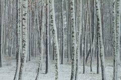 Région boisée neigeuse de bouleau Image libre de droits