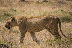 Région de Ngorongoro Conservtion, Tanzanie - lion Photo libre de droits