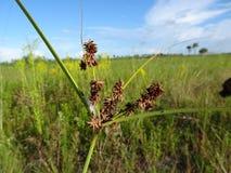 Région naturelle de clairières de pin dans des marais de la Floride photo libre de droits