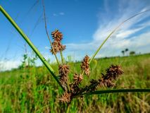 Région naturelle de clairières de pin dans des marais de la Floride photos libres de droits