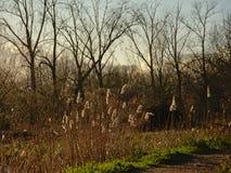 Région sauvage avec des plumes de roseau et des arbres nus Photo stock
