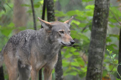 Région sauvage captivante de Gray Timber Wolf In The photo stock