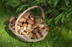 Répand le porcini dans le panier en osier sur l'herbe verte Photos libres de droits
