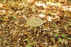 Répand les champignons en nature La cueillette répand dans une forêt pendant l'automne Un élevage non comestible de champignon Photographie stock libre de droits