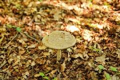 Répand les champignons en nature La cueillette répand dans une forêt pendant l'automne Un élevage non comestible de champignon Photos stock