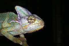 Répteis - anfíbio - chameleon Fotografia de Stock Royalty Free