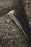 Réptil da ilha de Fernando de Noronha, Brasil, estando em um s Imagens de Stock