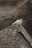 Réptil da ilha de Fernando de Noronha, Brasil, estando em um s Imagem de Stock
