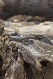 Réptil da ilha de Fernando de Noronha, Brasil, estando em um t Foto de Stock