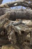 Réptil da ilha de Fernando de Noronha, Brasil, estando em um t Fotografia de Stock