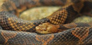 Réptil da serpente de Copperhead enrolado Fotografia de Stock Royalty Free