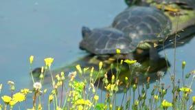 Réptil das tartarugas na natureza selvagem da vida video estoque