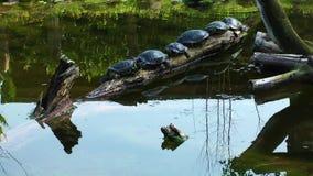 Réptil das tartarugas na natureza selvagem da vida vídeos de arquivo