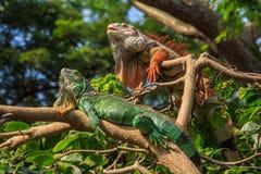 Réptil de duas iguanas que senta-se na árvore. Fotografia de Stock