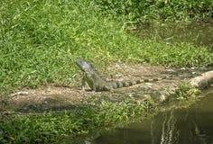 Réptil do lagarto gigante perto da lagoa Imagens de Stock