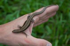 réptil do lagarto na mão fotos de stock