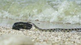 Réptil do Natrix do rio Snake vídeos de arquivo
