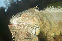Réptil no jardim zoológico Imagens de Stock Royalty Free