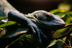 Réptil no jardim zoológico de San Diego Fotos de Stock