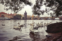 République Tchèque Cygnes sur la rivière de Vltava à l'arrière-plan Charles Bridge 17 juin 2016 Photographie stock