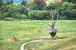 République Tchèque prague Zoo de Prague giraffes 12 juin 2016 Photo libre de droits