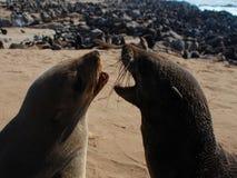 Réservation croisée de phoque de cap Côte squelettique Namibie Photographie stock