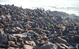 Réservation croisée de phoque de cap Côte squelettique Namibie Image stock
