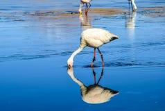 Réservation d'Eduardo Avaroa Andean Fauna National de flamant, Bolivie Photos libres de droits