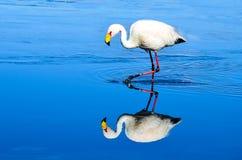Réservation d'Eduardo Avaroa Andean Fauna National de flamant, Bolivie Image libre de droits