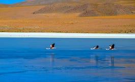Réservation d'Eduardo Avaroa Andean Fauna National de flamants, Boliviaa Photographie stock