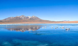 Réservation d'Eduardo Avaroa Andean Fauna National de flamants, Bolivie Photos stock