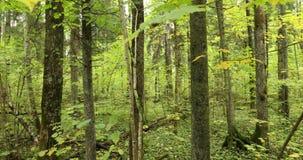 Réservation de biosphère de Berezinsky, Belarus Traînée de embarquement en bois de voie de manière de chemin d'Eco dans la forêt  banque de vidéos