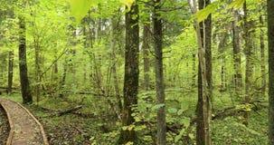 Réservation de biosphère de Berezinsky, Belarus Traînée de embarquement en bois de voie de manière de chemin d'Eco dans la forêt  clips vidéos