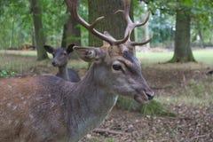 Réservation de jeu d'andouillers de cerfs communs affrichés d'herbe de forêt de vert du feu de forêt de nature image libre de droits