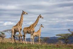 Réservation de jeu de girafes Photo stock