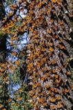 Réserve de biosphère de guindineau de monarque, Mexique images stock