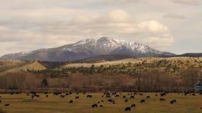 Réserve forestière orientale de Malheur de bétail de vache à ranch de montagne de canyon de l'Orégon banque de vidéos
