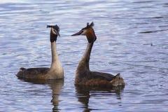 Réservoir de grèbe crêté de lac Edgbaston grand Images libres de droits