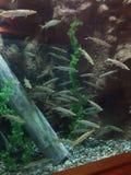 Réservoir de jeunes poissons de brochet photos libres de droits