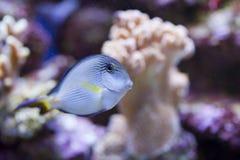 Réservoir de poissons marin d'aquarium Photographie stock libre de droits