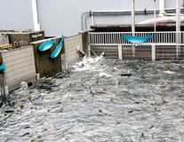 Réservoir de stockage de attente saumoné photo libre de droits