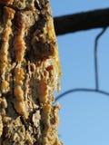 Résine de pin sur le tronc Les gouttes de résine circulent vers le bas sur l'écorce Photos libres de droits