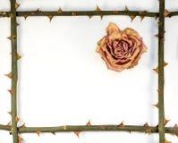 Résumé - le cadre de la tige avec l'american national standard d'épine a séché rose Images stock