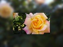 Rétro beau de cadre floral s'est levé dans le style décoratif de vintage de cadre Photographie stock