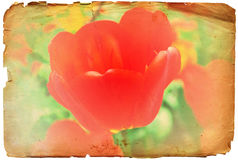 Rétro photo ou fond de fleur rouge grunge de tulipe Images stock