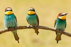 Réunion de trois oiseaux sur une branche Photos stock